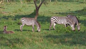 Zebras in Uganda Stock Photo