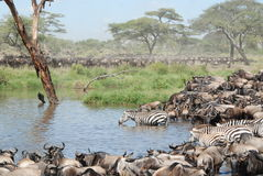 Zebras und Büffel Stockfotografie