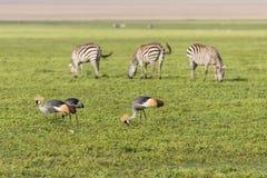 Zebras und gekrönter Kran in Ngorongoro-Krater lizenzfreie stockfotos