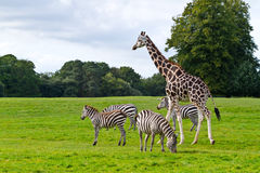 Zebras und Giraffe Stockbild