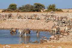 Zebras und Gnu an einem waterhole stockfoto