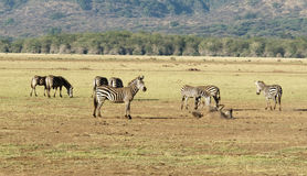 Zebras und Sandbad Stockfoto