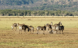 Zebras und Sandbad Lizenzfreies Stockfoto