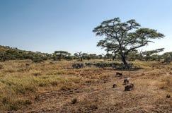 Zebras und wilde Eber Stockfoto