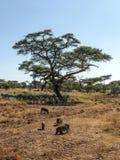 Zebras und wilde Eber Lizenzfreie Stockfotos