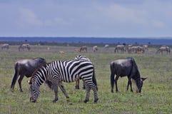 Zebras und Wildebeest, die auf Serengeti Ebenen weiden lassen Stockfotografie