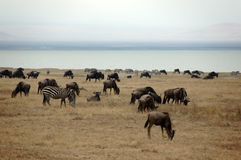 Zebras und Wildebeest nahe bei der Lagune Stockbild
