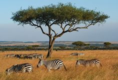 Zebras under acacia. Stock Photo