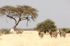 Zebras under trees Royalty Free Stock Images