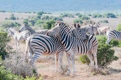 Zebras using each others backs as headrest. Two Burchells zebras, Equus quagga burchellii, using each others backs as headrest stock photo