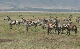 Zebras van Burchell Stock Fotografie