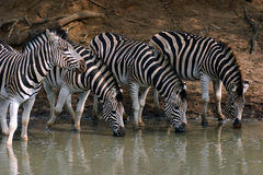 Zebras van Burchell Royalty-vrije Stock Fotografie