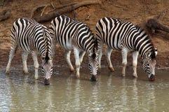 Zebras van Burchell Stock Afbeelding