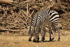 Zebras van de toelage stock foto