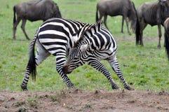 Zebras van Masai Mara 8 Royalty-vrije Stock Afbeelding