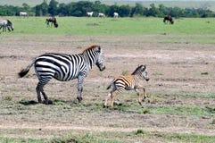 Zebras van Masai Mara 7 Royalty-vrije Stock Afbeelding