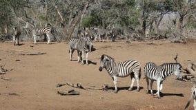 Zebras van vlaktes Royalty-vrije Stock Fotografie