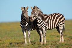 Zebras van vlaktes Royalty-vrije Stock Foto