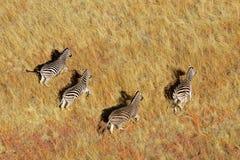Zebras van vlaktes Stock Afbeelding