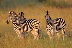 Zebras van vlaktes Stock Afbeeldingen