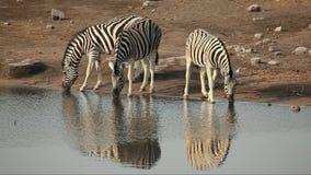 Zebras van vlaktes het drinken Royalty-vrije Stock Foto