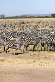 Zebras in vertical Royalty Free Stock Photos