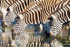 Zebras Vier het Drinken Spiegelkleuren Royalty-vrije Stock Afbeelding