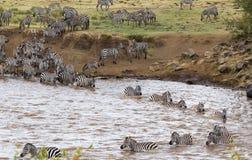 Zebras vom Masai Mara zu Serengeti, Afrika stockfoto