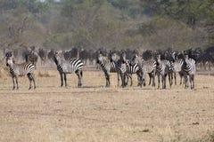Zebras vor Gnus im serengeti lizenzfreies stockbild