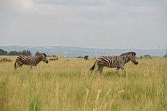 Zebras walking through African gras. South Africa stock photography