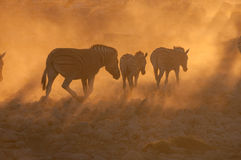 Zebras walking into a dusty sunset Royalty Free Stock Photography