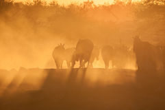 Zebras walking into a dusty sunset Stock Photography