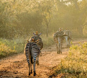 Zebras walking in the golden light Royalty Free Stock Photography
