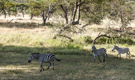 Zebras walking Royalty Free Stock Photography
