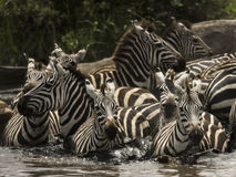 Zebras walking in a river, Serengeti, Tanzania Royalty Free Stock Photography