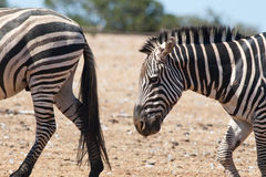 Zebras. Walking on sand on sunny day Royalty Free Stock Image