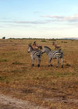Zebras walking Royalty Free Stock Images
