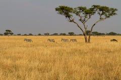 Landschaft mit Zebraherde lizenzfreie stockfotografie