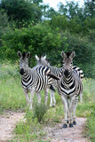 Zebras watching as the photographers gets closer Royalty Free Stock Image