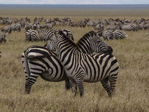 Zebras watching in Serengeti Royalty Free Stock Images