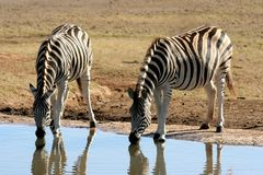 Zebras at a Water Hole Stock Images
