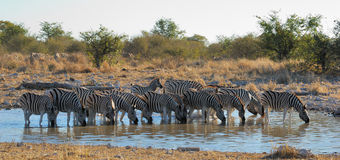 Zebras at Waterhole Royalty Free Stock Photo
