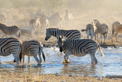 Zebras at Waterhole Stock Image