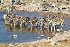 Zebras at waterhole Royalty Free Stock Images