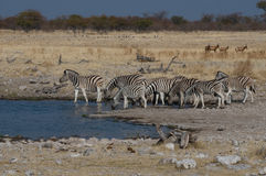 Zebras by a waterhole Royalty Free Stock Photos