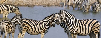 Zebras at a waterhole Royalty Free Stock Photography