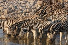 Zebras at waterhole. Zebrask in the very early morning drinking water in a waterhole in etosha stock images