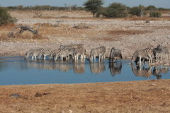 Zebras at a Waterhole Stock Image
