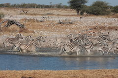 Zebras at a Waterhole Stock Photos