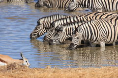 Zebras at a Waterhole Royalty Free Stock Images